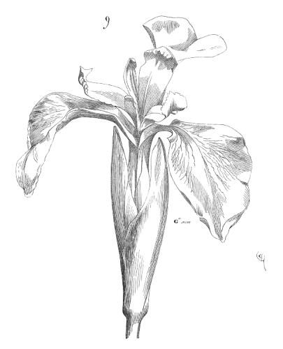 Fleur.iris